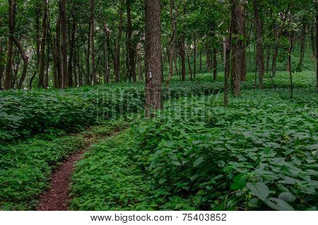 Trail Bends In Summer Green Foliage