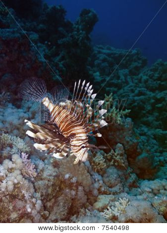 Lionfish And Coral Reef At Background