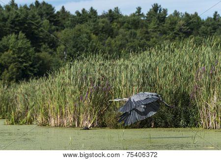 Heron Flying Over The Marsh