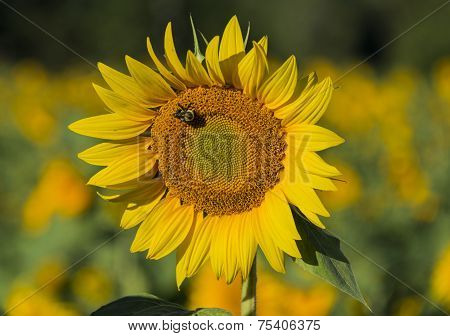 Bumble Bee On Sunflower Blossom