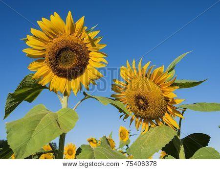 Focus On Sunflowers