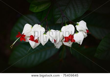 Bleeding Heart Vine Flower
