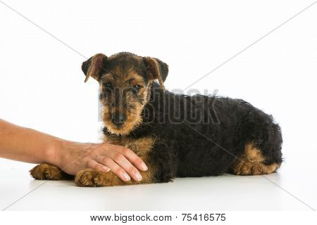 hands holding on airedale terrier puppy