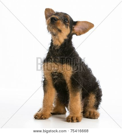 airedale terrier puppy sitting looking up on white background