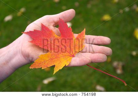 Hand Holding Orange Maple Leaf