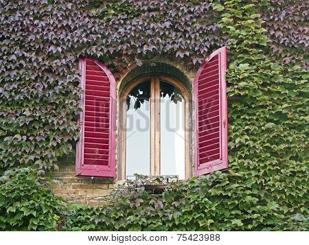 Building Window   Covered With Colorful  Ivy