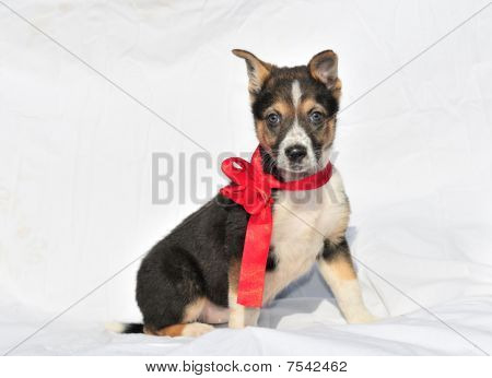 Charming Two Month Old Three Colour Puppy With Beautiful Red Bow