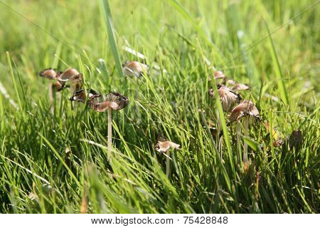 Genuine shaggy mane, aka Coprinus comatus mushrooms growing in grass. A they decompose as in this image they release their spores so they can grow again and again. Mushrooms are cool.