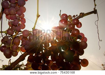 grapevine in detail