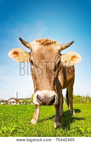 Cow Eating Grass At The Meadow