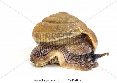 Garden Snail On White Background