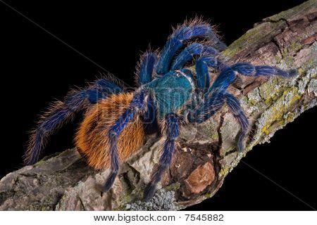Tarantula Crawling