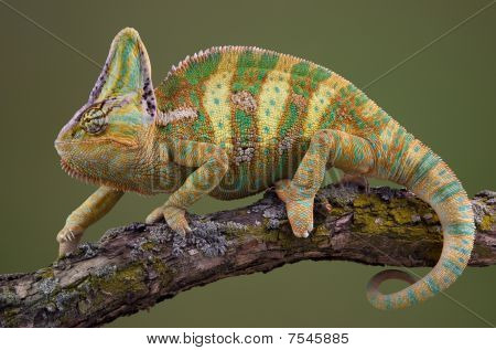 Walking Chameleon