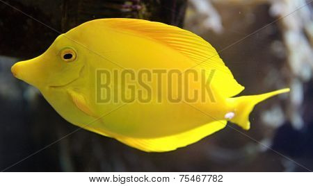 Yellow Tang Fish (zebrasoma Flavescens) And Corals