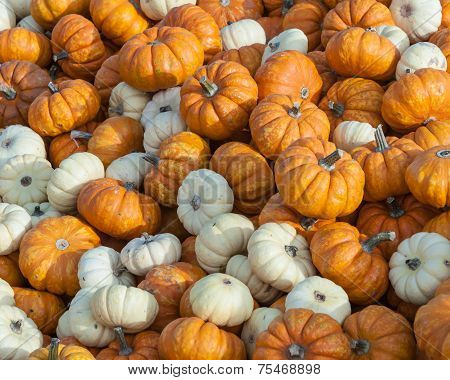 Mini Pumpkins
