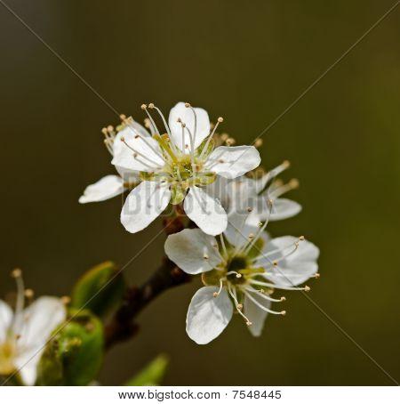 Bullace Blossom