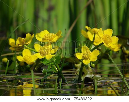 Marigolds, Caltha Palustris, Yellow Flowers Blooming In Spring On A Boggy Meadow
