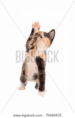 Calico Kitten Reaching Up