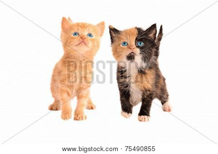 A Calico And Orange Tabby Kitten