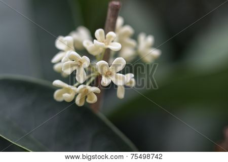 blooming osmanthus flowers