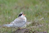 picture of tern  - Juvenile Arctic Tern screaming for food - JPG