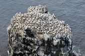 stock photo of gannet  - Rock in ocean with Nothern Gannet colony - JPG