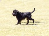 picture of stubborn  - A small young black Affenpinscher dog with a short shaggy wire coat walking on the grass - JPG