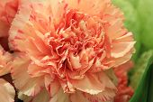 stock photo of carnation  - Carnation flower - JPG