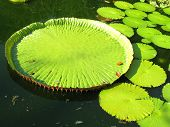 stock photo of thumbelina  - The huge green leaf water lilies on the lake - JPG