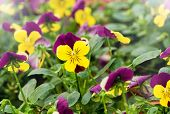 picture of horticulture  - Background of colorful yellow violets growing in a horticultural field at a nursery with focus to the petals of one flower