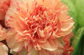 stock photo of carnation  - Carnation flower - JPG