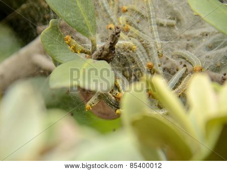 Green and orange worms in a silk nest
