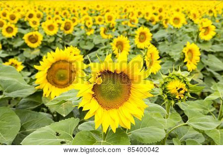 Large Happy Sunflower And Sunflower Oil Crop
