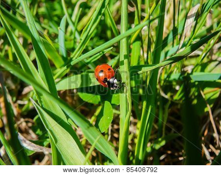 Ladybug on grass leaf