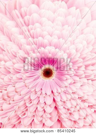 Gerbera Blossom With Pink Colored Petals Amids A Petal Pattern