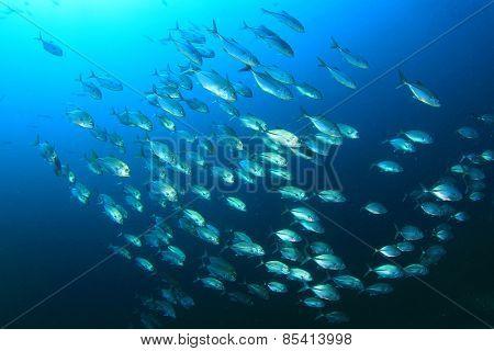 Bigeye Trevally (Jack) fish