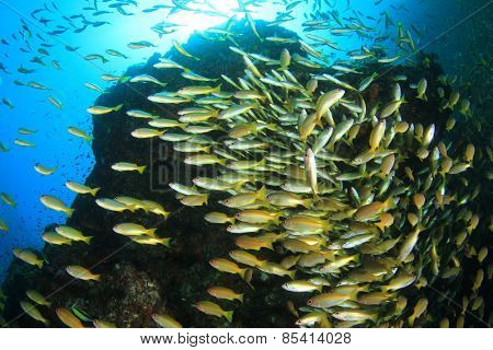 School yellow fish (Bigeye Snappers) on coral reef underwater