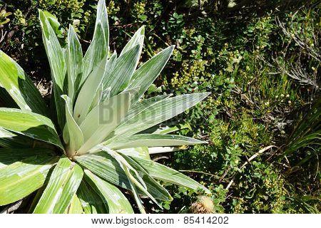 mountain Daisy or Cotton Plant