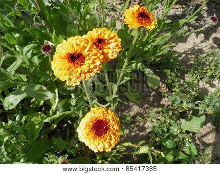 Blossoming yellow pot marigold (calendula) flowers.