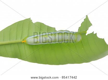 Caterpillar Of  Butterfly On Leaf