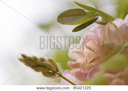 Flowering Pink Rose Acacia In Spring Weather