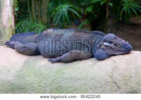 Horned Lizard Resting On A Rock