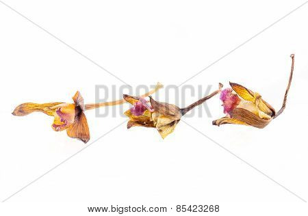 Dried Orchid Flowers