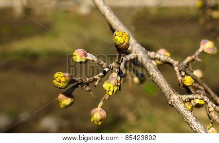 The Branch Of Cornelian Cherries