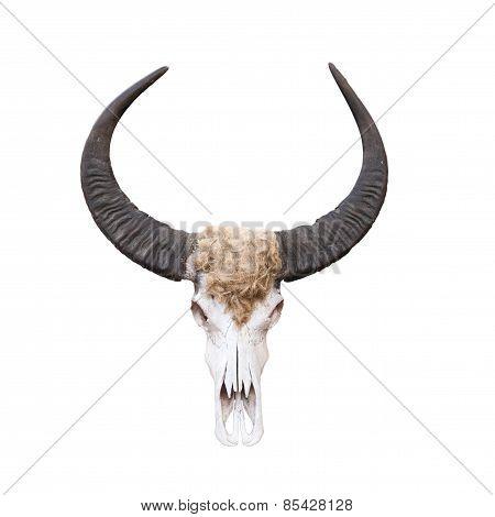 Buffalo Skull Isolated On White .