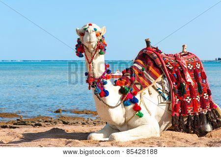 White Camel Resting On The Egyptian Beach. Summertime Outdoors.