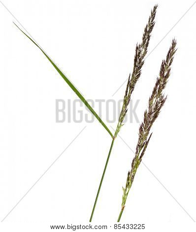 BROMUS (POACEAE) plant grass close up macro shot Isolated on white background