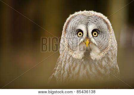 Great Grey Owl Closeup Portrait
