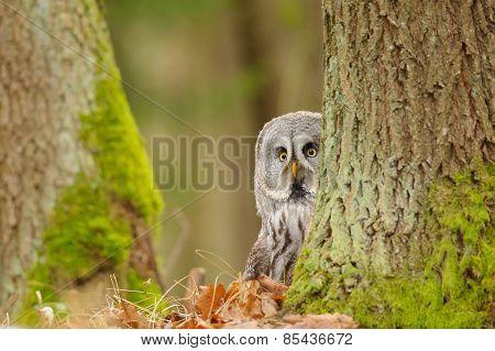 Curious Great Grey Owl
