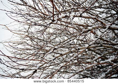 White Hoarfrost Crystal On Bush Winter Background